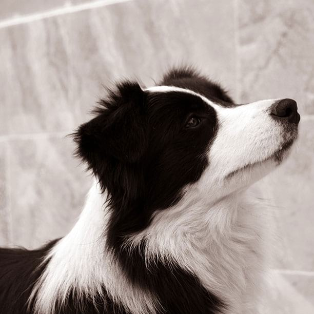 gardelcan border collie negro