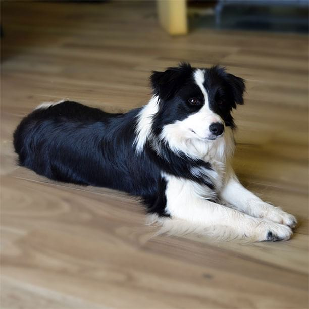gardelcan border collie