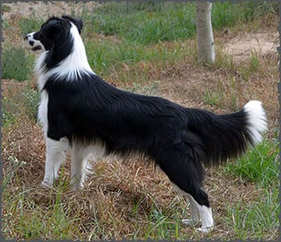border collie linea inglesa