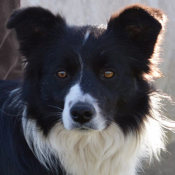 hembras border collie gardelcan