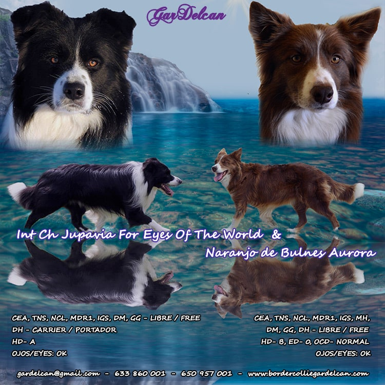 cachorros gardelcan border collie